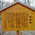 金シャチ横丁に植えられた「家康梅」 - 3