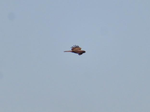Photos: カラスに追い立てられ、逃げた猛禽類(たぶんトンビ) - 5