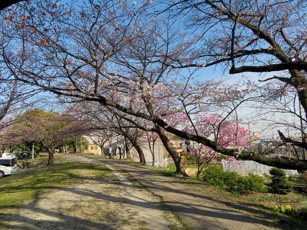 咲き始めた落合公園の桜(2020年3月26日)- 1