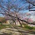 Photos: 咲き始めた落合公園の桜(2020年3月26日)- 1