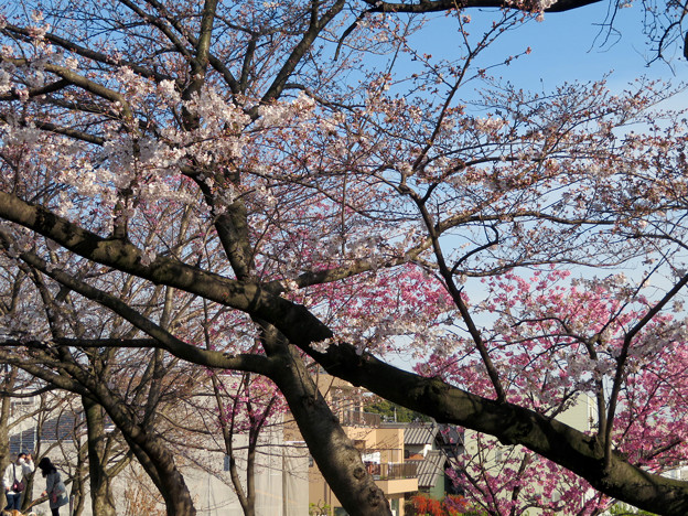 咲き始めた落合公園の桜(2020年3月26日)- 2