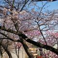 Photos: 咲き始めた落合公園の桜(2020年3月26日)- 2