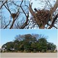 Photos: 高御堂古墳の上にあるカラスの(?)巣 - 3