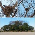 Photos: 高御堂古墳の上にあるカラスの(?)巣 - 4