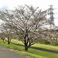 Photos: 結構咲いていた内津川沿いの桜(2020年3月28日)