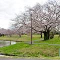 Photos: 落合公園の桜(2020年3月29日) - 1