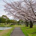 Photos: 落合公園の桜(2020年3月29日) - 2
