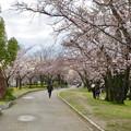 Photos: 落合公園の桜(2020年3月29日) - 4
