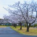 夕暮れから日没にかけての落合公園の桜(2020年3月30日)- 1