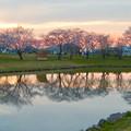 夕暮れから日没にかけての落合公園の桜(2020年3月30日)- 2