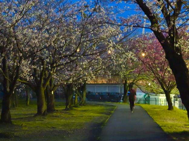 夕暮れから日没にかけての落合公園の桜(2020年3月30日)- 6