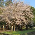 Photos: 平野神社 - 1:桜