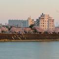 木曽川沿いの桜