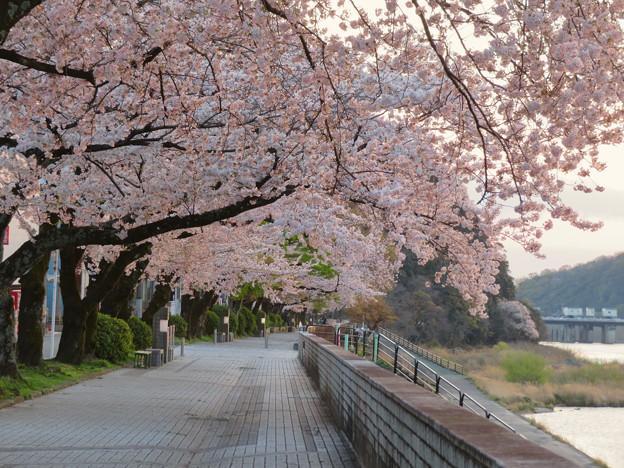 木曽川沿いの桜と犬山城 - 10