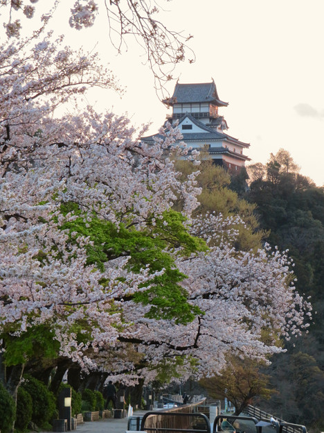 木曽川沿いの桜と犬山城 - 12