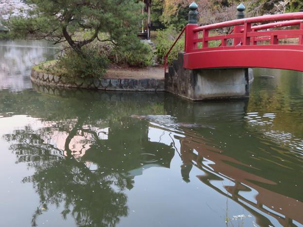 定光寺公園の池にいたヌートリアのカップル? - 9