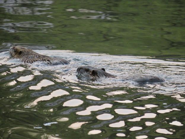 定光寺公園の池にいたヌートリアのカップル? - 10
