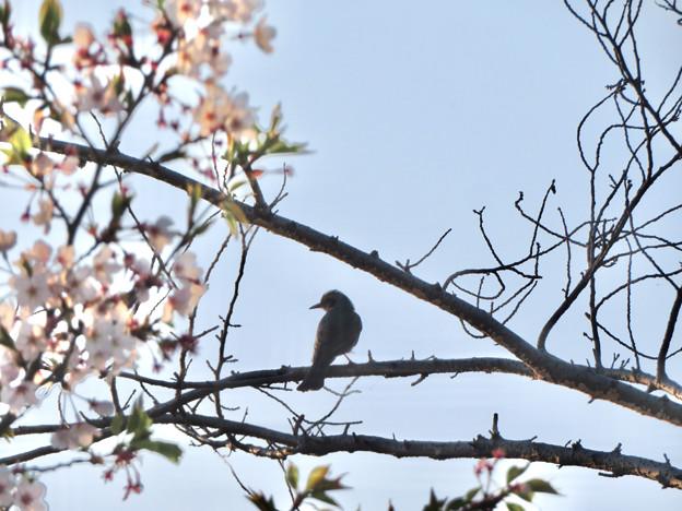 桜の木にとまるヒヨドリ - 1