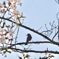 Photos: 桜の木にとまるヒヨドリ - 1