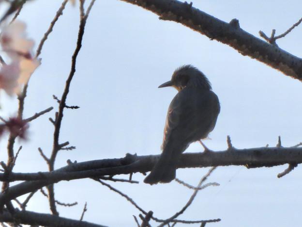 桜の木にとまるヒヨドリ - 2