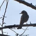 Photos: 桜の木にとまるヒヨドリ - 2