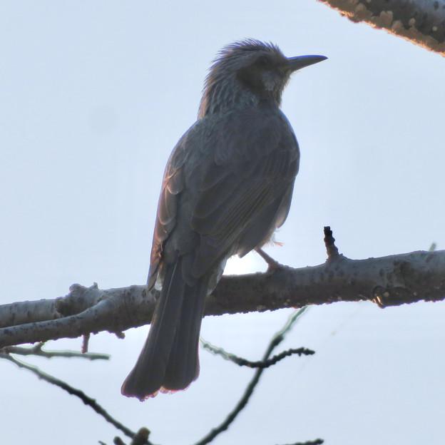 桜の木にとまるヒヨドリ - 3