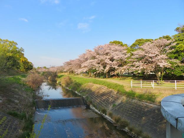 八田川沿いの桜 - 1