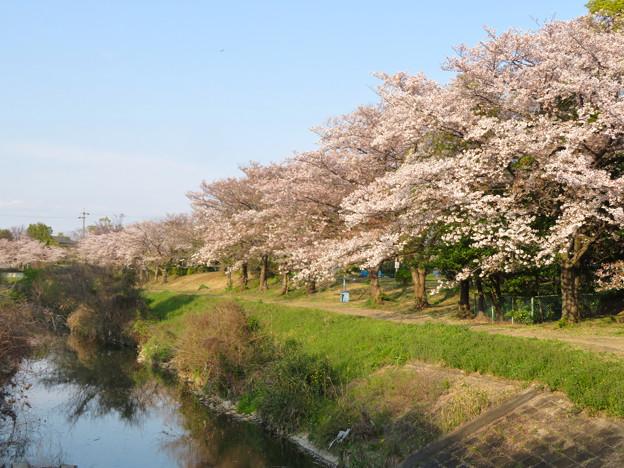 八田川沿いの桜 - 2