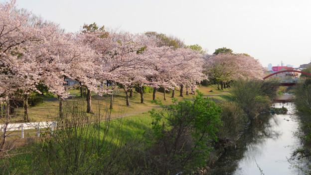八田川沿いの桜 - 3
