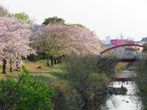 八田川沿いの桜 - 4:遠くに見える名駅ビル群