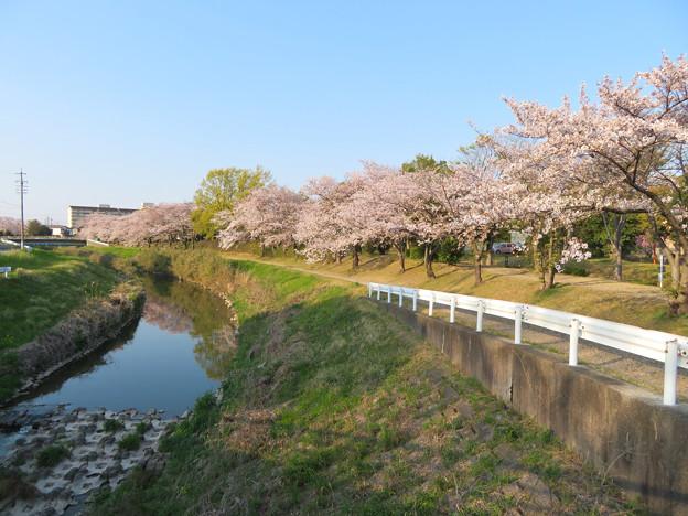 八田川沿いの桜 - 5
