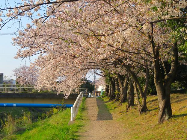 八田川沿いの桜 - 6
