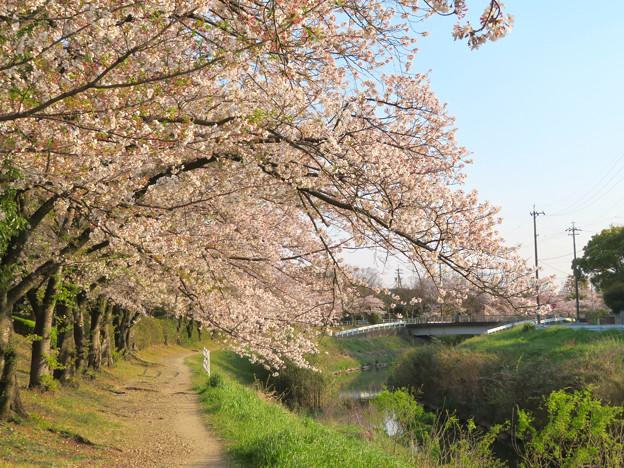八田川沿いの桜 - 7