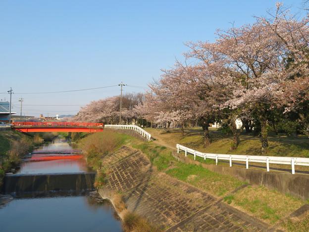 八田川沿いの桜 - 8