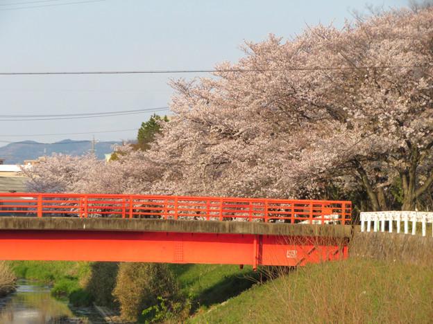 八田川沿いの桜 - 9