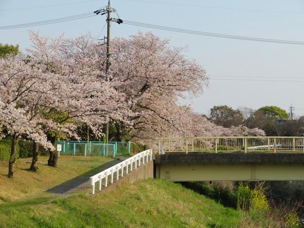 八田川沿いの桜 - 10