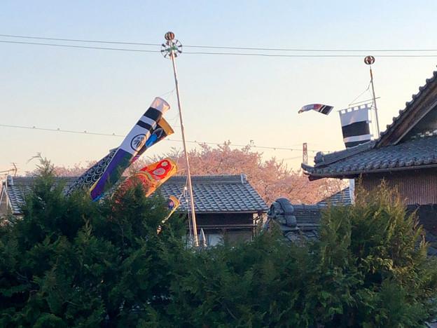 桜とともに棚引く鯉のぼり - 1