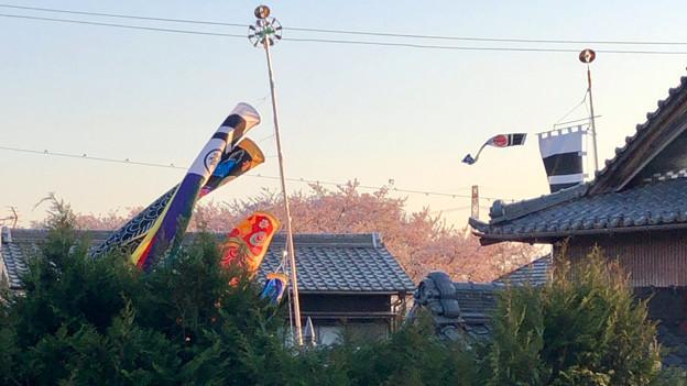 桜とともに棚引く鯉のぼり - 2