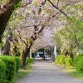 伊多波刀神社 - 1:参道の桜
