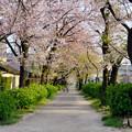 伊多波刀神社 - 2:参道の桜