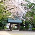 伊多波刀神社 - 29:境内の桜