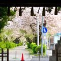 伊多波刀神社 - 34:参道沿いの桜