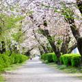 伊多波刀神社 - 35:参道沿いの桜