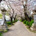 伊多波刀神社 - 36:参道沿いの桜