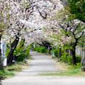 伊多波刀神社 - 49:参道の桜