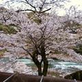 定光寺駅近くにある桜 - 1