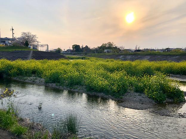 Photos: 内津川中洲の菜の花 - 1