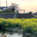 内津川中洲の菜の花 - 2