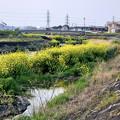 Photos: 内津川中洲の菜の花 - 3