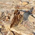 Photos: 弥勒山山頂にいた蝶